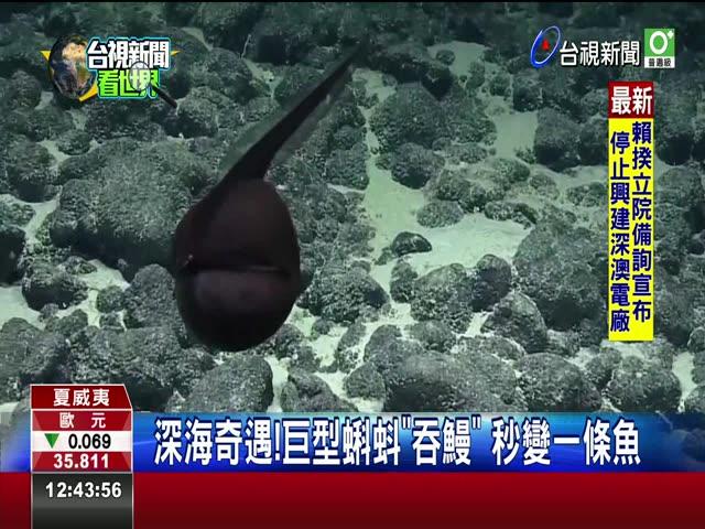 深海奇遇!巨型蝌蚪吞鰻 秒變一條魚 吞鰻張嘴收下巴 一秒變回纖細身形