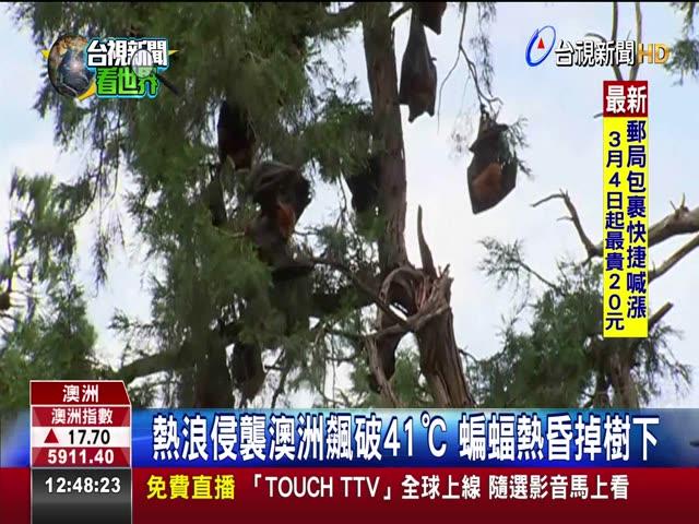 熱浪侵襲澳洲飆破41℃ 蝙蝠熱昏掉樹下