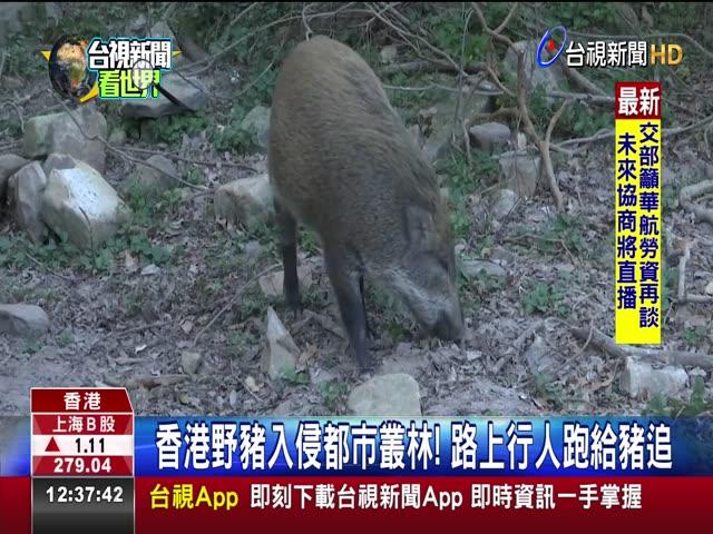 香港野豬入侵都市叢林! 路上行人跑給豬追