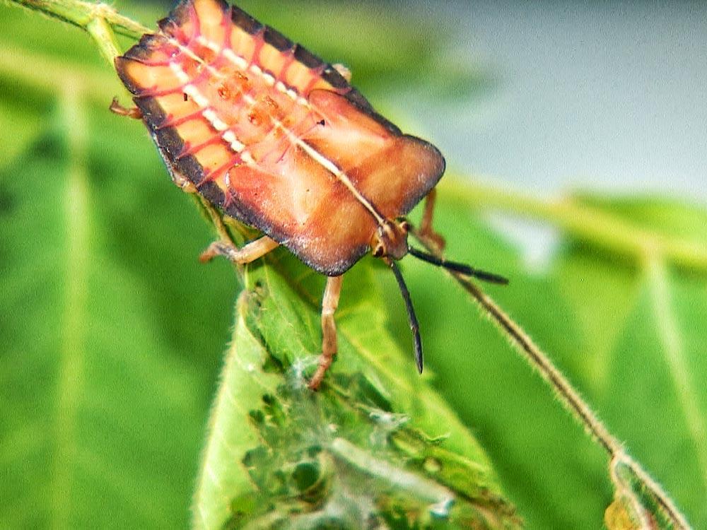 農業害蟲 荔枝椿象