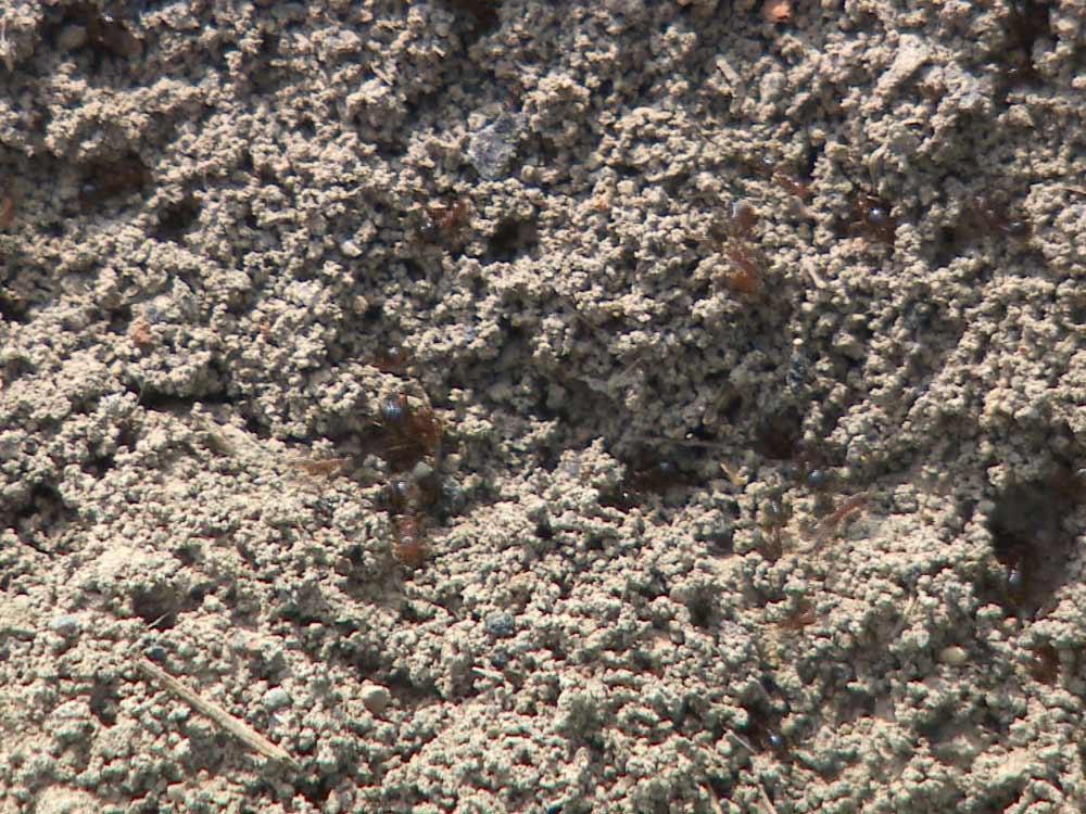 蟲蟲危機 掃蕩紅火蟻
