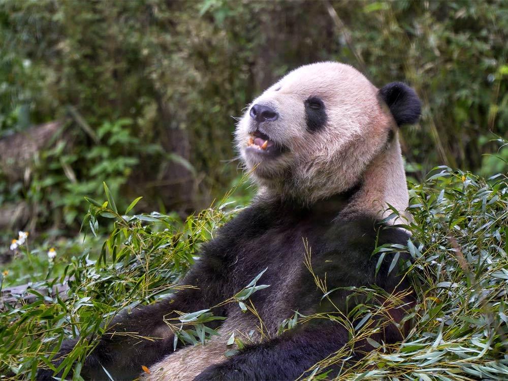 全球首例 貓熊牙套