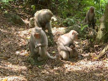 人猴衝突 保育挑戰