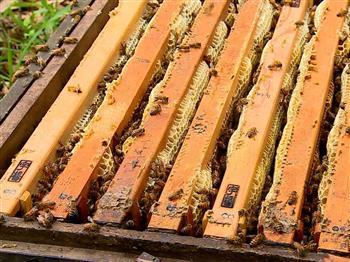 氣候異常 蜂蜜銳減
