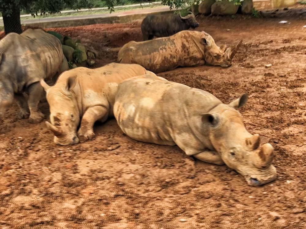搶救白犀牛 凍精保種