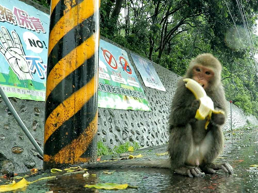 獼猴降級 保育挑戰