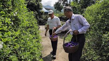 改變才有未來 蝶豆花的有機栽種