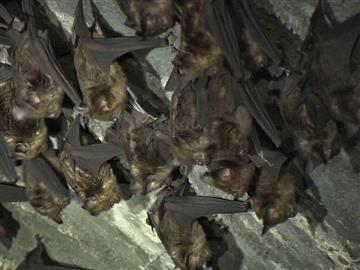 生物界毒王 蝙蝠身帶百毒
