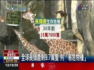 全球長頸鹿剩9.7萬隻列「易危物種」