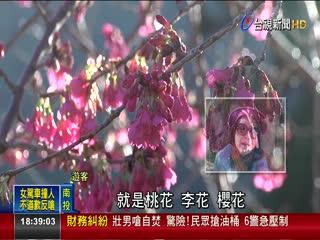 櫻花.李花.桃花開信義鄉草坪頭賞花