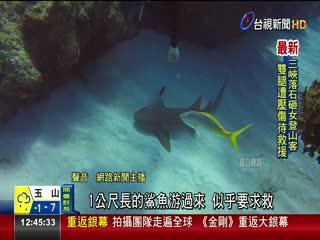 神奇!30公分長刀插頭鯊魚「無聲求援」