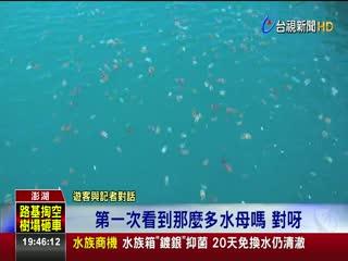 嚇!水母軍團萬頭攢動入侵澎湖漁港