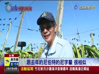 尼莎颱風撲台台東果農緊急搶收火龍果