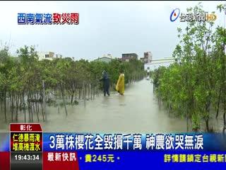 豪雨狂襲3萬株櫻花吸水過量全泡湯
