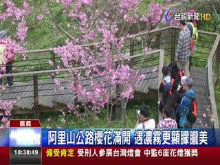 絕美!阿里山櫻花綻放遊客賞櫻免出國