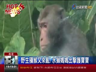 野生獼猴又來亂!水獺媽媽出擊護寶寶