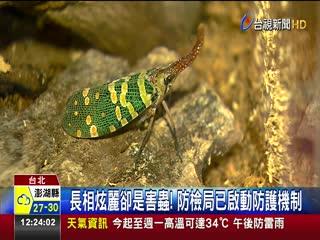 比荔枝椿象更難防治龍眼雞首度現蹤台灣