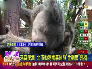 來自澳洲!北市動物園無尾熊金鋼狼亮相