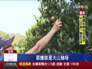 山豬橫行柑橘園果農開放採果降低損失