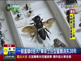 全球最大蜜蜂!華萊士巨型蜜蜂印尼現蹤